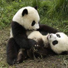 copains comme pandas