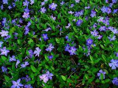 plantes-ombre-Pervenche-basse-feuilles-vertes-fleurs-pourpres plantes d'ombre