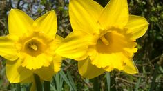 daffodil my fav