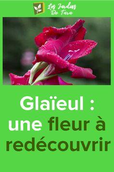 Glaïeul: une fleur à redécouvrir