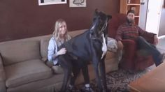 World's Biggest Dog Stands Over 7 Feet Tall & Loves To Sit On People's Laps!