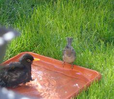 Merlo e passero nel mio giardino -  Foto-diario di una giardiniera curiosa