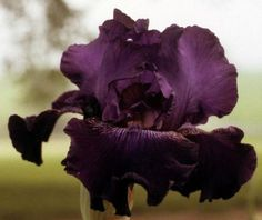 Comanche Acres Iris Gardens - Gower, MO - Witch's Cape-Tall Bearded Iris