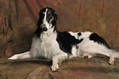 Borzoi looks like my Cyrano