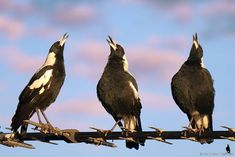 A favourite photo of mine, The Three Tenors The Australian Magpie has one of the world's most complex bird songs, some can also make great mimics! Tropical Birds, Colorful Birds, Nature Animals, Animals And Pets, Magpie Tattoo, What Is A Bird, Animal Action, Wild Creatures, Kinds Of Birds