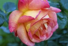 Hybrid Tea Rose (Rosa Hybrida 'Horace McFarland') - Michael Davis/Photolibrary/Getty Images