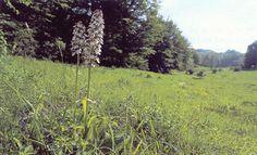 Overdrev og krat på mere eller mindre kalkholdig bund. Delvis naturlig tør græs- og kratvegetation på kalk ( Festuco Brometalia ) (* vigtige orkidélokaliteter).  Kalkrigt overdrev med mange arter af orkidéer. I forgrunden ses stor gøgeurt. Jydelejet, Møn. Foto: Bert Wiklund.  Overdrevsvegetation på mere eller mindre kalkrig jordbund samt krat, som er vokset frem på sådanne overdrev. Vegetationens sammensætning afhænger af jordbund, fugtighed og eksponering. Der er således mange variationer…