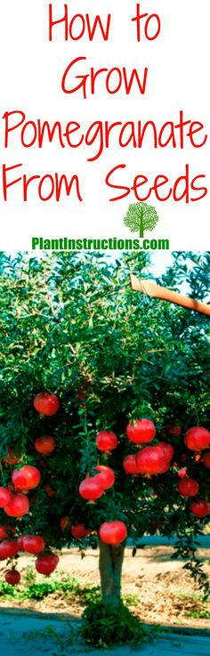 grow pomegranate from seed