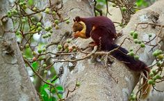 A Giant Among Squirrels The Indian Giant Squirrel (Ratufa indica maxima) is a large tree squirrel species native to India. They measure in excess of 3 feet in length and can weigh over four and a half pounds. An arboreal species, they will rarely leave the trees.