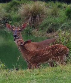 Island deer on Fripp Low Country, Country Living, Habitats, Giraffe, Deer, Island, Nature, Animals, Country Life