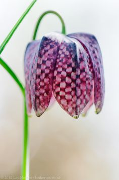 The snakeshead fritillary (Fritillaria meleagris) is one of the loveliest and most distinctive British wildflowers.