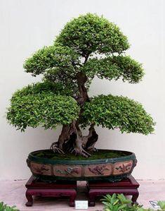 Olivo - Olea Europaea. - El Arte del Bonsai - cultura general en parentesys.es