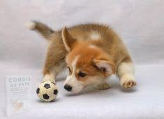 Cute Corgi Puppy, Corgi Dog, Cute Puppies, Cute Dogs, Dogs And Puppies, Baby Corgi, Teacup Puppies, Welsh Corgi Pembroke, Sleepy Dogs