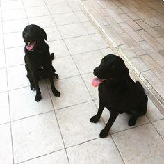 #Morgana con papà Rocco #labrador #black #lab #blacklab #dog #cane #pet