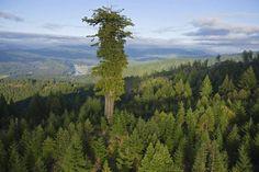 10 самых больших деревьев в мире