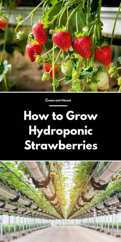 Hydroponic How to Grow Hydroponic Strawberries - Fruit plants are not the easiest options for hydroponics beginners. But strawberries are an exception to this rule. In this post, you'll learn everything about hydroponic strawberries and how to grow them. Aquaponics System, Vertical Hydroponics, Hydroponic Vegetables, Hydroponic Grow Systems, Indoor Hydroponics, Hydroponic Farming, Hydroponic Plants, Hydroponic Growing, Vertical Farming