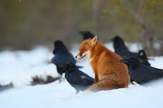 "fabledfox:    ""Moment with ravens"" by Remo Savisaar 