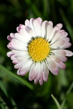 Daisies (Bellis perennis) are well suited to the care of oily and blemished skin. In combination with other plants it frees blocked pores, intensifies the metabolic activity of the skin and makes it more receptive to other conditioning substances.