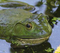 Frog & damselfly