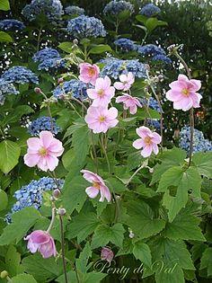 """Hydrangea macrophylla """"Ayesha"""" avec Anemone japonica"""