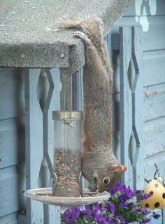 Squirrel practising his diving --ever resourceful!