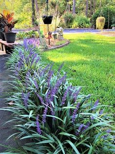 Monkey grass easy care plant maintenance garden landscaping front yards 25 Plants That Survive With or Without You Outdoor Landscaping, Outdoor Plants, Outdoor Gardens, Front Landscaping Ideas, Florida Landscaping, Backyard Plants, Landscaping Plants, Natural Landscaping, Landscaping Around Trees