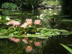 Lily Pond, Huntington Gardens