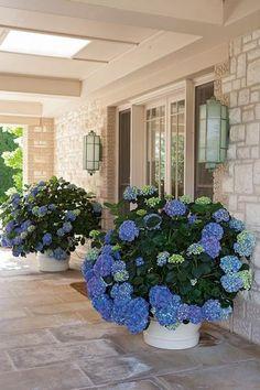 Hydrangea Potted, Hydrangea Landscaping, Hydrangea Flower, Backyard Landscaping, Flower Pots, Hydrangeas, Landscaping Ideas, Hydrangea Varieties, Outdoor Flowers