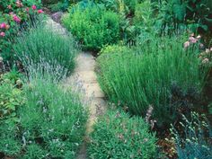 Learn about growing lavender, including tips on planting lavender and pruning lavender, from the experts at HGTV. Herb Garden Design, Garden Paths, Garden Landscaping, Landscaping Ideas, Garden Tips, Garden Projects, Greenhouse Pictures, Growing Lavender, Planting Lavender