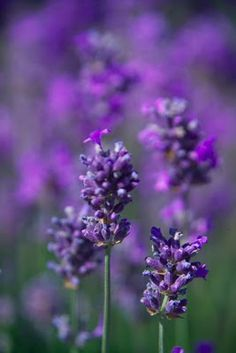 Beautiful close-up shot of lavender Lavender Green, Lavender Fields, Lavender Flowers, French Lavender, Purple Garden, All Things Purple, Purple Rain, Shades Of Purple, Flower Power