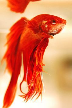Red Veil-Tail Betta (Siamese Fighting Fish, Betta Splendens)