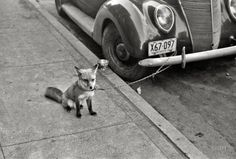 "historicalnarrative:  October 1940. Moorhead, Minnesota. ""Fox chained to automobile.""  35mm negative by John Vachon for the Farm Security Ad..."