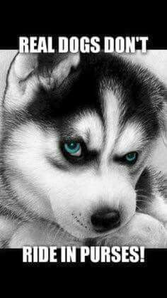 Siberian Husky rules lol