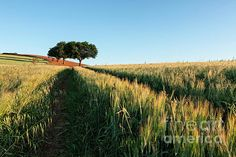 Wheat field at sunrise with trees on background