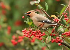 A winter visitor in large numbers from Scandinavia every few years, the waxwing gorges on the cotaneaster bushes found in our towns and cities