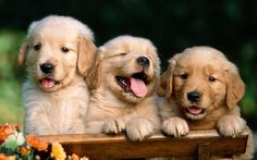 Golden Retrievers... I have to have one or two!!