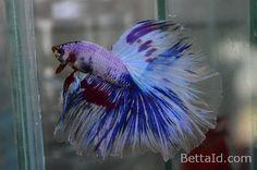 60 Best Ikan Cupang Halfmoon Images Cupang Betta Fish Pet