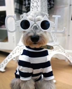 A darling mini Schnauzer all dressed up in a funny outfit