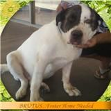 Brutus is an adoptable Saint Bernard St. Bernard Dog in Las Vegas, NV. Hello, I'm a 6 year old that is looking for a forever home. While I'm waiting for my forever home, a foster home is needed. . PLE...