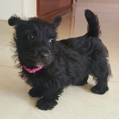 First Day at home !!! Scottish terrier