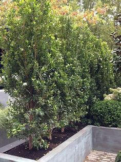 Syzygium 'Resilience' - very popular Lilly Pilly for hedging and screening Hedging Plants, Garden Shrubs, Garden Trees, Backyard Plants, Garden Bed, Hedges Landscaping, Outdoor Landscaping, Landscaping Ideas, Patio Ideas