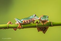 https://flic.kr/p/U3QjtU | Don't mind me! - Super Tiger Legged Waxy Monkey Leaf Frog D50_8101.jpg | The genus Phyllomedusa is commonly known as the Waxy Monkey Tree Frogs, notable for their wax secreting glands on their back elbows and rump. This wax is secreted then rubbed all over the body, sealing in moisture and allowing these tree frogs to take advantage of drier conditions than other amphibians.