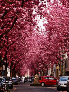 Heerstrasse in Bonn, Germany This gorgeous street scene of Heerstrasse in Bonn, Germany, shows beautiful cherry blossoms in full bloom. It is hard to believe that places like this exist in real-life, especially in urban areas, but they do! Unfortunately, it is impossible to enjoy the beauty of these trees all year long.