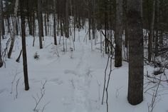 Well-used and active White-tailed deer (Odocoileus virginianus) trail. Algonquin - Northern Ontario