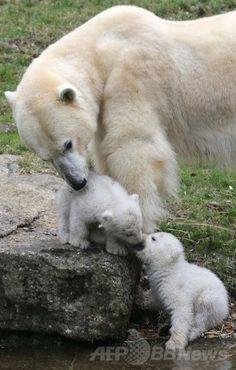 ホッキョクグマの双子、初めて「お外」を散歩 独動物園