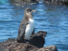 Penguin, Galapagos Islands