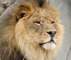 Experts Estimate Only 32,000 Lions Left on African Continent