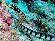 Laticauda Colubrina - Cobra Marinha