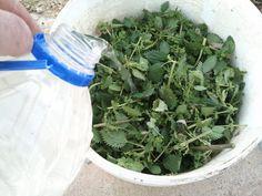 La Ortiga es una planta silvestre que crece de forma espontánea, especialmente en zonas húmedas, pero también podemos cultivar ortiga en nuestro huerto...