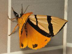 Lymantriid Moth (Numenes siletti, Lymantriinae) | Flickr - Photo Sharing!